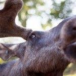 "Norvegienii din zona Troms ingrijorati de ""invazia"" elanilor"