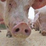 Fermier condamnat la inchisoare dupa ce a lasat 400 de porci sa moara de foame